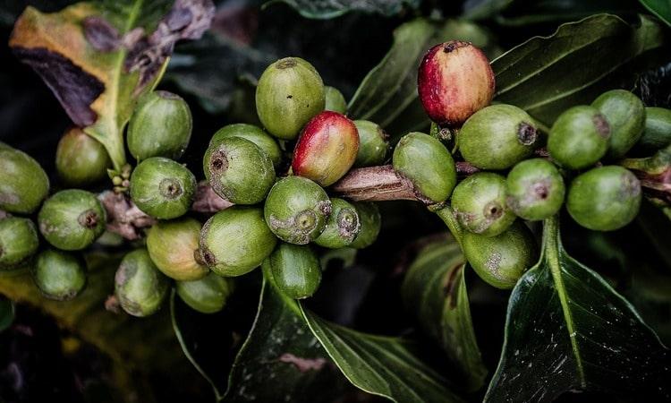 Зелёный кофе, польза для здоровья, для похудения и для здоровья